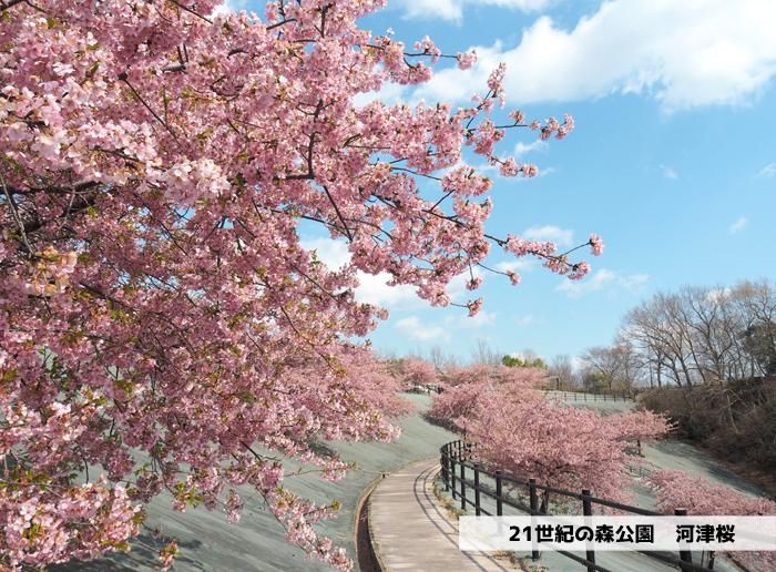 《いわき市桜情報2019》21世紀の森公園の河津桜が見頃を迎えています! [平成31年3月25日(月)更新]1