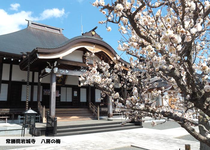 常勝院岩城寺の「八房の梅」が満開です! [平成31年3月25日(月)更新]1