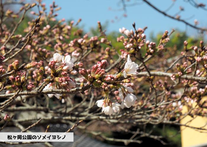 《いわき市桜情報2019》松ヶ岡公園のソメイヨシノが開花しました! [平成31年3月27日(水)更新]1