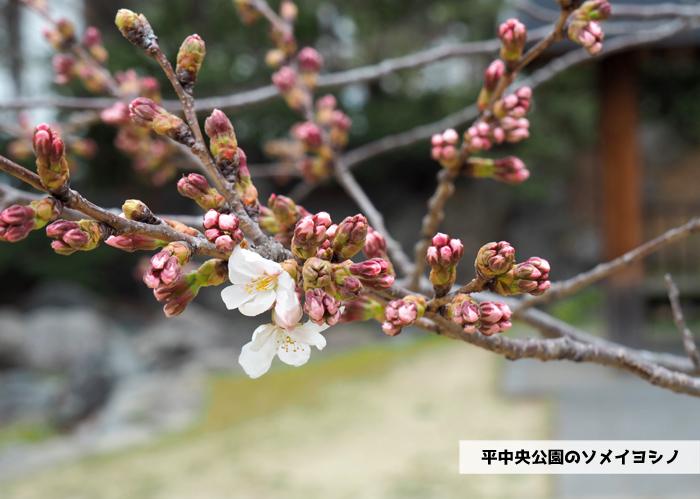 《いわき市桜情報2019》平中央公園&新川沿いのソメイヨシノが開花しました! [平成31年3月29日(金)更新]1