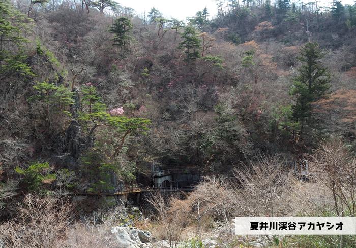 夏井川渓谷のアカヤシオが開花しました! [平成31年4月1日(月)更新]1