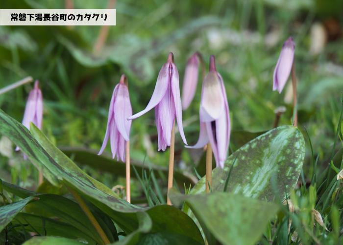 薄紫の可憐な花「カタクリ」が咲き始めました! [平成31年4月1日(月)更新]1