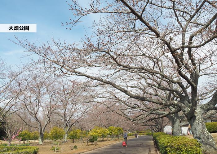 《いわき市桜情報2019》大畑公園のソメイヨシノ(開花) [平成31年4月1日(月)更新]1