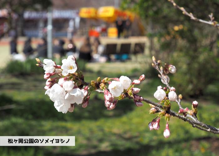 《いわき市桜情報2019》松ヶ岡公園のソメイヨシノ(2分咲き) [平成31年4月3日(水)更新]1