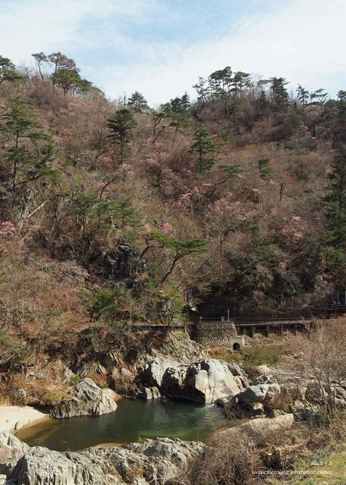 夏井川渓谷のアカヤシオ 春の陽射しを浴び見頃を迎えております! [平成31年4月6日(土)更新]1