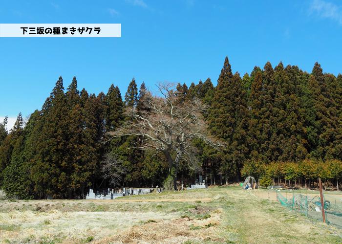 《いわき市桜情報2019》下三坂の種まきザクラが開花までもう間もなくです! [平成30年4月8日(日)更新]1