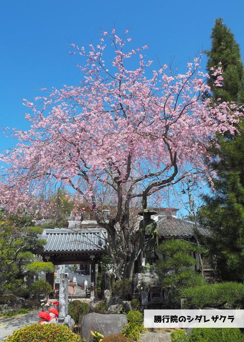 《いわき市桜情報2019》勝行院のシダレザクラが満開です! [平成31年4月7日(日)更新]1