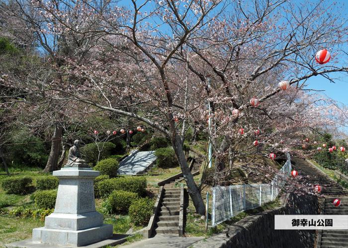 《いわき市桜情報2019》御幸山公園がほぼ満開となり見頃を迎えています! [平成31年4月7日(日)更新]1