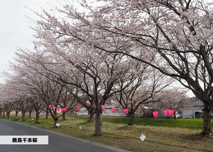 《いわき市桜情報2019》鹿島千本桜がほぼ満開となっています! [平成31年4月8日(日)更新]1