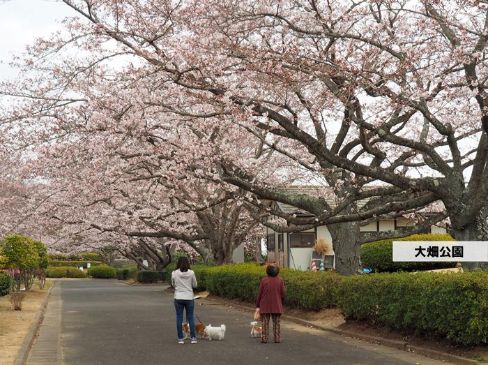 《いわき市桜情報2019》大畑公園のソメイヨシノが満開となりました! [平成31年4月8日(日)更新]1