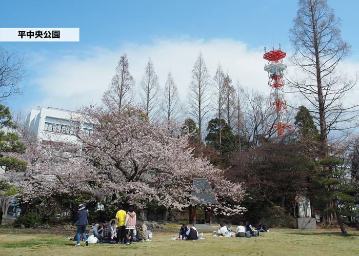 《いわき市桜情報2019》平中央公園で満開の桜を楽しみましょう♪ [平成31年4月8日(月)更新]1