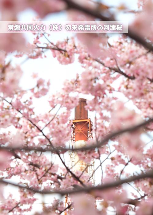 《いわき市桜情報2019》常磐共同火力(株)勿来発電所の河津桜が満開です♪ [平成31年3月18日(金)更新]1