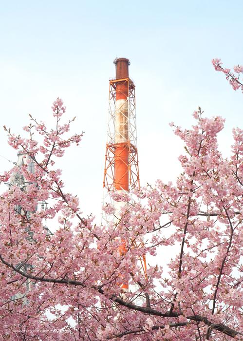 《いわき市桜情報2019》常磐共同火力(株)勿来発電所の河津桜が満開です♪ [平成31年3月18日(金)更新]10