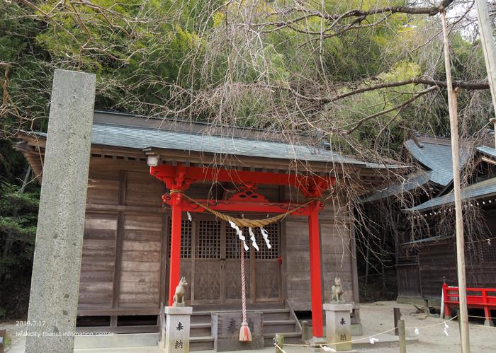 《いわき市桜情報2019》小川諏訪神社のシダレザクラ 蕾が膨らみ始めています! [平成31年3月18日(金)更新]10