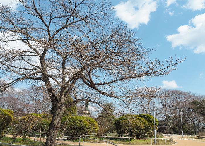 《いわき市桜情報2019》松ヶ岡公園のソメイヨシノ「蕾膨らむ」 [平成31年3月24日(日)更新]10