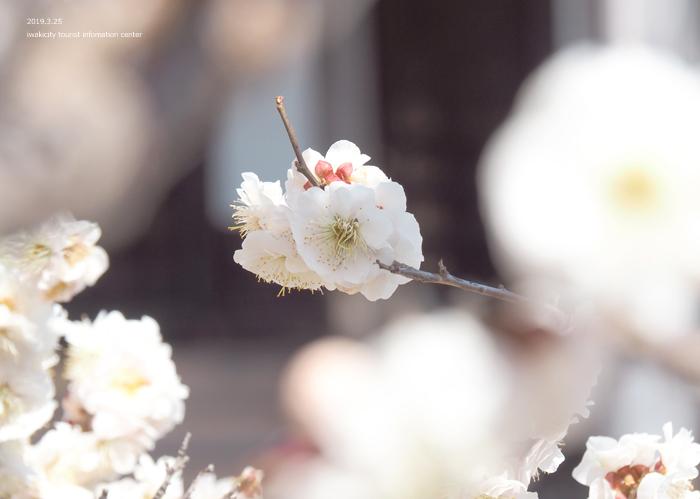 常勝院岩城寺の「八房の梅」が満開です! [平成31年3月25日(月)更新]10