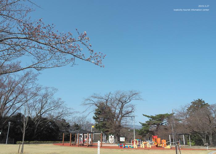 《いわき市桜情報2019》松ヶ岡公園のソメイヨシノが開花しました! [平成31年3月27日(水)更新]10