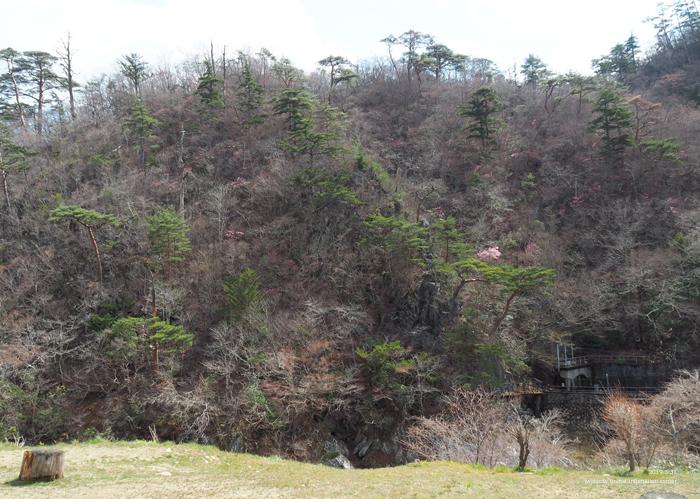 夏井川渓谷のアカヤシオが開花しました! [平成31年4月1日(月)更新]10