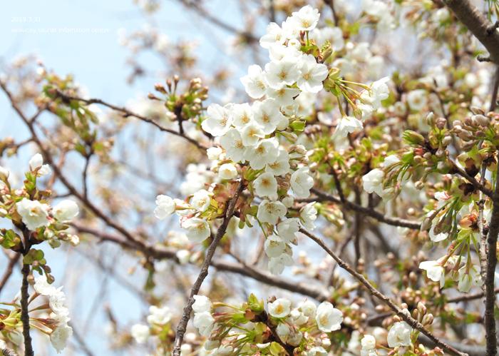 《いわき市桜情報2019》三崎公園のソメイヨシノ(咲き始め) [平成31年4月1日(月)更新]10