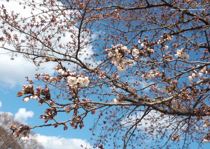 《いわき市桜情報2019》松ヶ岡公園のソメイヨシノ(2分咲き) [平成31年4月3日(水)更新]10