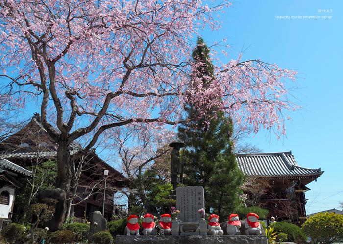 《いわき市桜情報2019》勝行院のシダレザクラが満開です! [平成31年4月7日(日)更新]10