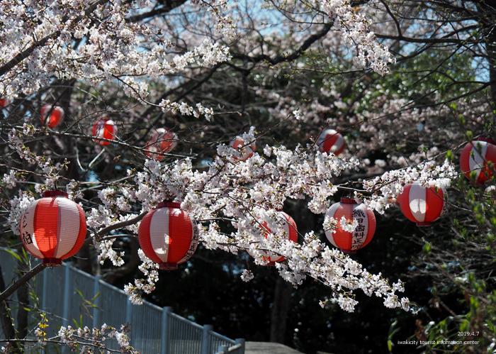 《いわき市桜情報2019》御幸山公園がほぼ満開となり見頃を迎えています! [平成31年4月7日(日)更新]10