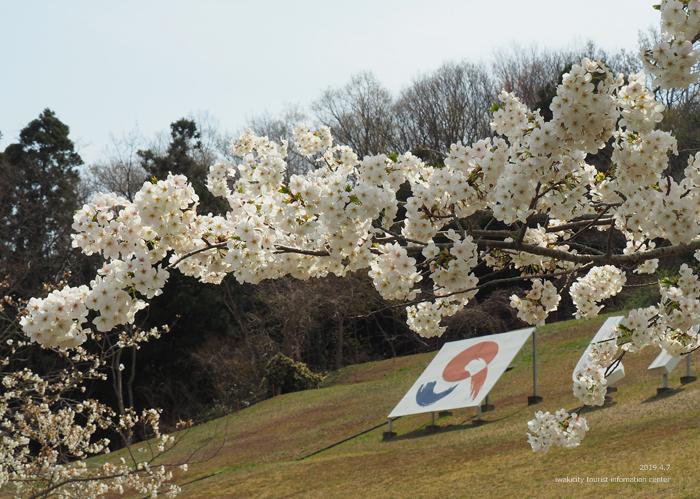 《いわき市桜情報2019》21世紀の森公園のソメイヨシノが見頃となりました! [平成31年4月7日(日)更新]10