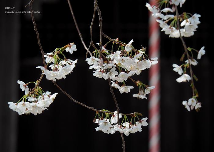 《いわき市桜情報2019》大運寺のシダレザクラが見頃! [平成31年4月7日(日)更新]10