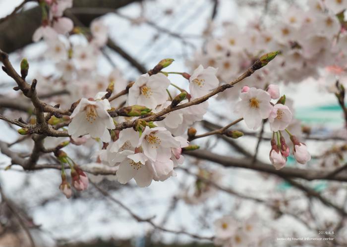 《いわき市桜情報2019》鹿島千本桜がほぼ満開となっています! [平成31年4月8日(日)更新]10