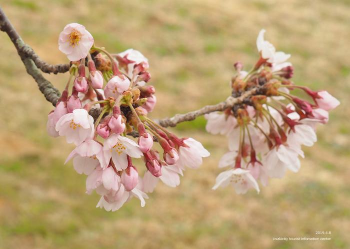 《いわき市桜情報2019》三崎公園でお花見を楽しましょう♪ [平成31年4月8日(日)更新]10