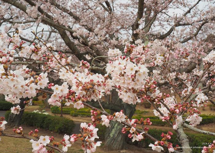 《いわき市桜情報2019》大畑公園のソメイヨシノが満開となりました! [平成31年4月8日(日)更新]10