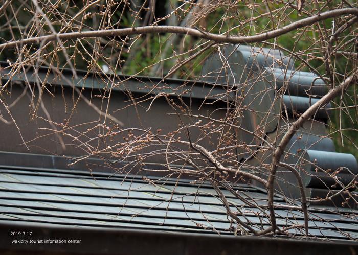 《いわき市桜情報2019》小川諏訪神社のシダレザクラ 蕾が膨らみ始めています! [平成31年3月18日(金)更新]11