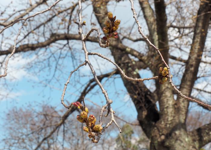 《いわき市桜情報2019》松ヶ岡公園のソメイヨシノ「蕾膨らむ」 [平成31年3月24日(日)更新]11