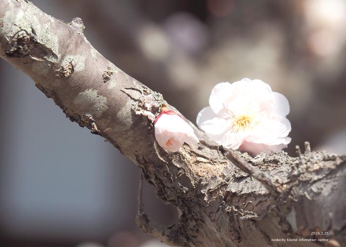 常勝院岩城寺の「八房の梅」が満開です! [平成31年3月25日(月)更新]11