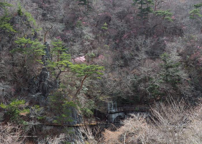 夏井川渓谷のアカヤシオが開花しました! [平成31年4月1日(月)更新]11