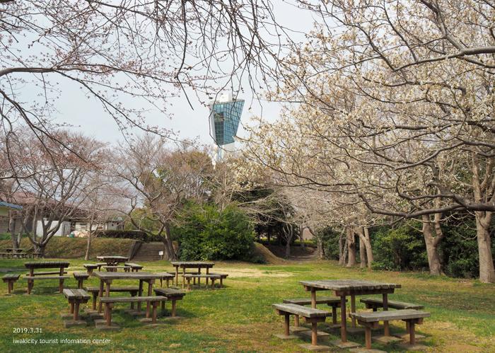 《いわき市桜情報2019》三崎公園のソメイヨシノ(咲き始め) [平成31年4月1日(月)更新]11