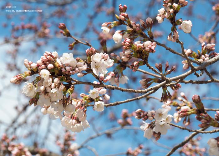 《いわき市桜情報2019》松ヶ岡公園のソメイヨシノ(2分咲き) [平成31年4月3日(水)更新]11