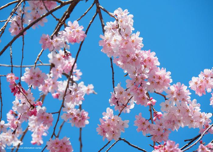 《いわき市桜情報2019》勝行院のシダレザクラが満開です! [平成31年4月7日(日)更新]11