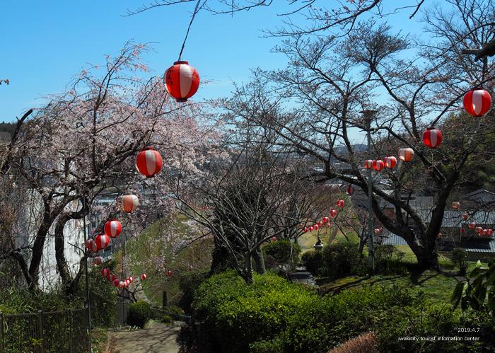 《いわき市桜情報2019》御幸山公園がほぼ満開となり見頃を迎えています! [平成31年4月7日(日)更新]11