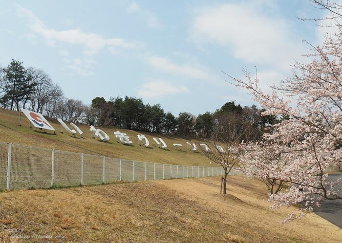 《いわき市桜情報2019》21世紀の森公園のソメイヨシノが見頃となりました! [平成31年4月7日(日)更新]11