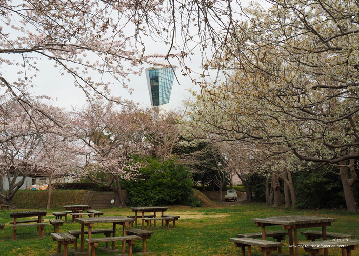 《いわき市桜情報2019》三崎公園でお花見を楽しましょう♪ [平成31年4月8日(日)更新]11
