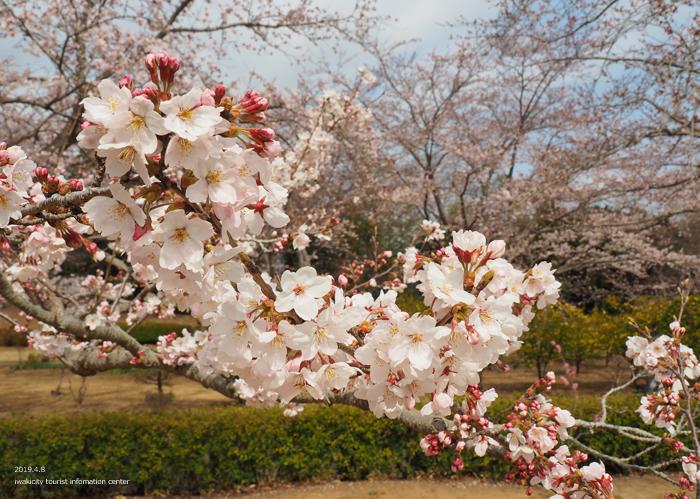 《いわき市桜情報2019》大畑公園のソメイヨシノが満開となりました! [平成31年4月8日(日)更新]11