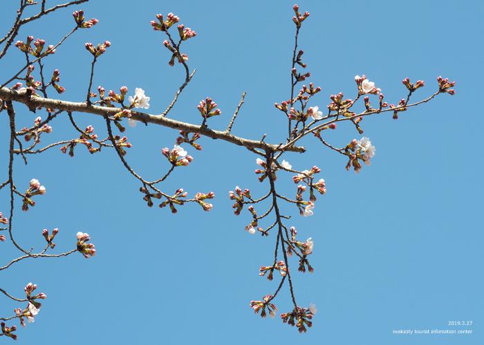 《いわき市桜情報2019》松ヶ岡公園のソメイヨシノが開花しました! [平成31年3月27日(水)更新]12