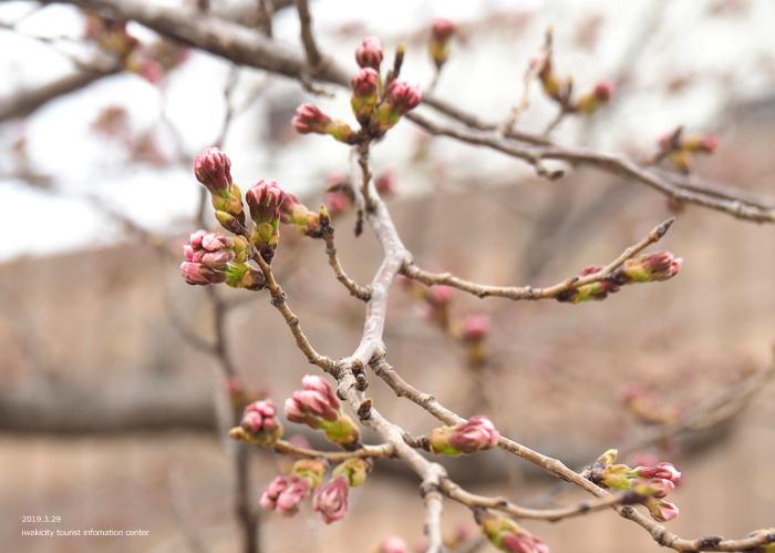 《いわき市桜情報2019》平中央公園&新川沿いのソメイヨシノが開花しました! [平成31年3月29日(金)更新]12