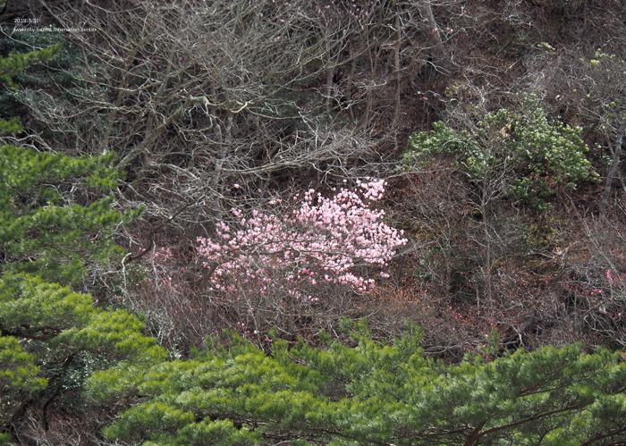 夏井川渓谷のアカヤシオが開花しました! [平成31年4月1日(月)更新]12