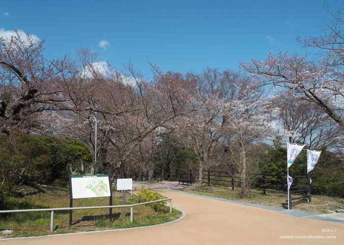 《いわき市桜情報2019》松ヶ岡公園のソメイヨシノ(2分咲き) [平成31年4月3日(水)更新]12