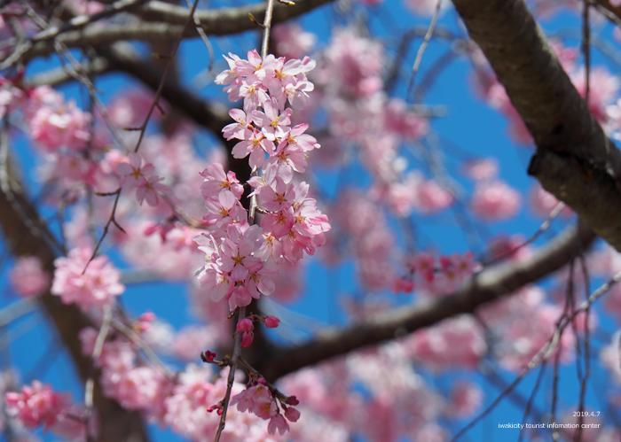 《いわき市桜情報2019》勝行院のシダレザクラが満開です! [平成31年4月7日(日)更新]12