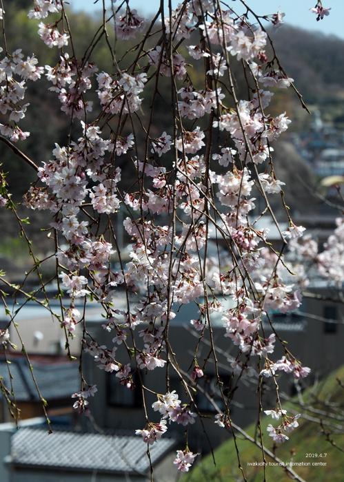 《いわき市桜情報2019》御幸山公園がほぼ満開となり見頃を迎えています! [平成31年4月7日(日)更新]12