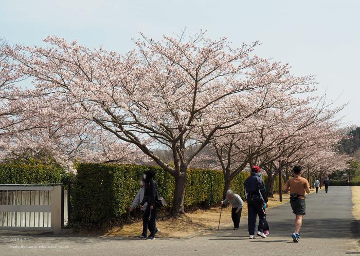《いわき市桜情報2019》21世紀の森公園のソメイヨシノが見頃となりました! [平成31年4月7日(日)更新]12