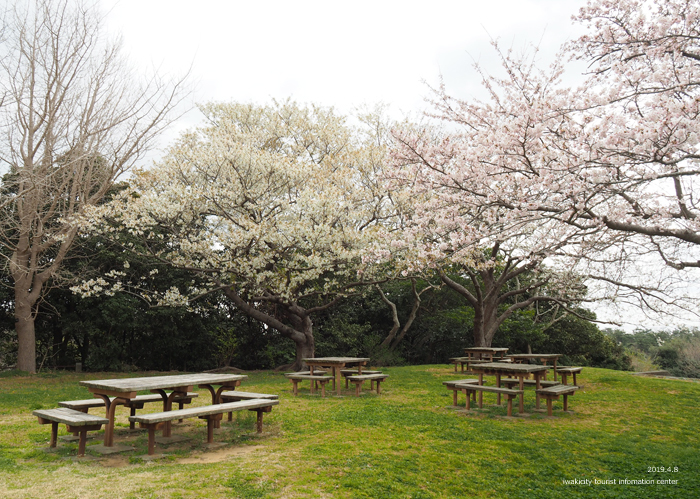 《いわき市桜情報2019》三崎公園でお花見を楽しましょう♪ [平成31年4月8日(日)更新]12